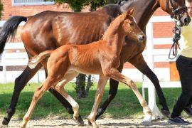 Verden Auction Online – Dressage Foals