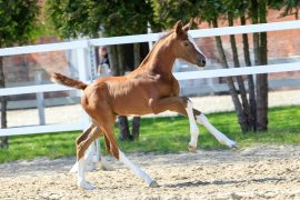 Verden Auction Online – Jumping Foals