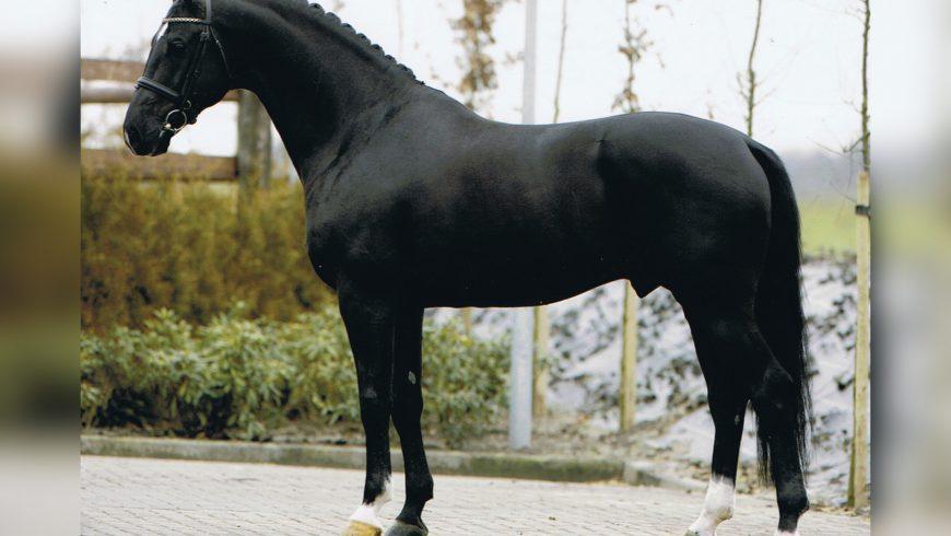 Negro/KWPN (Ferro-Fewrie/Variant)