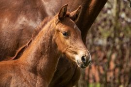 Viva España – Top priced foal sold to Spain