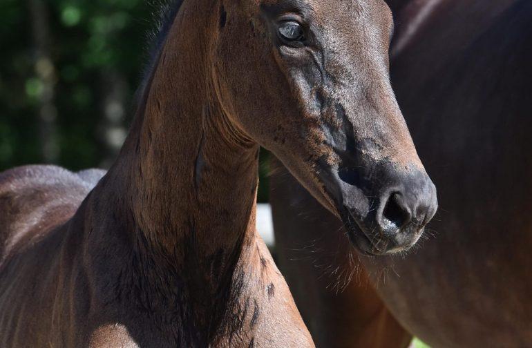 Bull's Eye Millie Margaux -Finale of the Verden Foal Spring