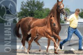 Verden Auction Online of the Foals